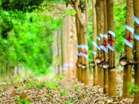 Tập đoàn Cao su nhận đền bù 600 triệu mỗi ha đất sân bay Long Thành