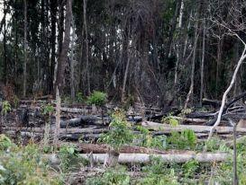 Tan hoang rừng tự nhiên của dự án nông-lâm kết hợp ở Đắk Nông