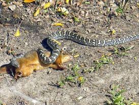 Trăn dài hai mét nuốt chửng thú có túi trong sân vườn